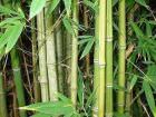 Bambusa Arundinacea - Thorny bamboo    