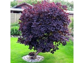 Cotinus coggygria 'Royal Purple'-seme