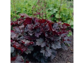 Heuchera Palace Purple / Sadnica