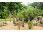 MADAGASKARSKA PALMA Pachypodium lamerei BILJKA