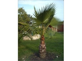 Palma Washingtonia filifera- trogodisnja